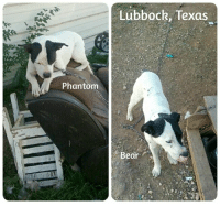 Memes, Bear, and Bears: Phantom  Lubbock, Texas  Bear Meet Phantom and Bear, the first two dogs being helped by Texas Dogs Unchained! They'll receive their fence on Saturday, December 17th at 11 AM. JOIN US and see for yourself how unchaining changes lives!