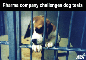 Animals, Dogs, and Food: Pharma company challenges dog tests  ADi For the first time a company is challenging regulators on their requirements for animal testing. A lawsuit brought by the Washington-based Vanda Pharmaceuticals seeks to overturn a decision by the FDA (Food & Drug Administration) to halt progress of the company's drug until a 9 month trial in dogs is carried out. The drug has already been through trials in 150 people for up to 3 months and is ready to go into further human trials. Although Vanda is not against animal testing it believes the tests in dogs are unnecessary. This important legal case could help drive reform of outdated regulations requiring such tests, better for animals and people.   Wherever you live, ask your political representatives to back measures supporting human-relevant research and a move away from animal use.   In the UK, urge your MP to support Early Day Motion 2228 http://bit.ly/DeclarationAdvancedScience