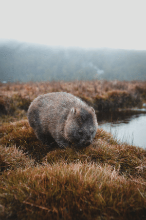 Tumblr, Blog, and Http: philkitt:  Wombat, Cradle Mountain (27.06.17)ISO400, 35mm, f2.8, 1/160sec