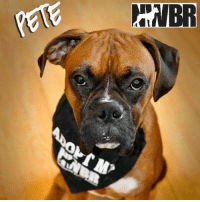Pete is a very smart and sweet 1.5 year old male boxer. Pete is social with his foster siblings, but is still shy when it comes to rowdy play time and exploring with the family beyond the backyard. He needs love, guidance and reassurance, but is a fast learner and real love bug and snuggler. His foster family says he has been one of their easiest fosters and say Pete will do well in a home with older kids and a family that will take the time to slowly introduce the world to him.   1.5 years old Male Must go to a home with other dogs No cats Older kids ok   Mr. Pete they call me! I'm a sweet loving boy who just wants to be your snuggle buddy!! My foster mom says I'm a very smart boy. I catch on quickly to routines and I'm learning some manners. I have learned how to sit and take treats from you gently. Before I would try and suck your whole hand in my mouth. I wouldn't use my teeth at all but, my big lips would just engulf your whole hand. I have a fur foster brother and sister that have been showing my the ropes and teaching me to have confidence. I don't mind being outside but, I like to keep an eye on where my humans are at. I think I'm a little afraid I might be left behind. My foster family lets me have free run of the house when they are gone. And I'm a super good boy. I just take a little nap on the couch and wait for them to get back. I have been known to see what's up on the counters? See there was this yummy thing in a dish!! I think my foster mom calls it butter?!?!? Well I kinda like it.. At night time I sleep with my foster fur sister and my foster mom. I do tend to hog up the bed and I'm guilty of pretty much just laying on you while I sleep. So I hope you are okay with a doggie heater at night?! I'm learning how to play with my humans and my fur buddies. But, when my fur foster brother and sister get a little wild I tend to just sit back and watch. But, I'm a young boy so I know that I have play in me I'm still just a little shy! What I'm really trying