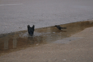 Photo I took of some goofy grackles bathing in December: Photo I took of some goofy grackles bathing in December