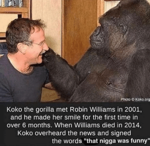 """Dank, Funny, and Memes: Photo Koko.org  Koko the gorilla met Robin Williams in 2001,  and he made her smile for the first time in  over 6 months. When Williams died in 2014,  Koko overheard the news and signed  the words """"that nigga was funny"""" Was a funny one by RastaYJZ MORE MEMES"""