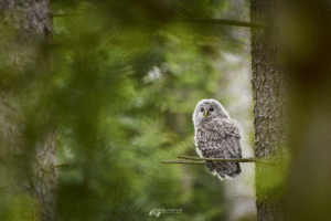 similis-esto:   Ural Owl Kid by  Boris Nanut : photography similis-esto:   Ural Owl Kid by  Boris Nanut
