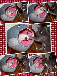 Sapphire & Rudy having a great time in the cat ball this am, it's all over the room, they drag it everywhere LOL: PIC eot. AGE Sapphire & Rudy having a great time in the cat ball this am, it's all over the room, they drag it everywhere LOL