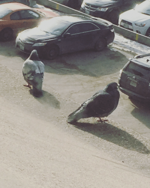 Pic of two plump pigeons perched on the ledge but ended up getting a picture of two massive pigeons looking for their car.: Pic of two plump pigeons perched on the ledge but ended up getting a picture of two massive pigeons looking for their car.