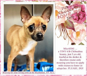 Chihuahua, Children, and Desperate: Pick me  Choose me  FOve me  Save e  Mia 65341  a TINY 6 lb Chihuahua  beauty, just 5 yrs old,  fearful at the shelter &  therefore rescue-only  meaning you have to apply  with rescues to foster or  Waiting for your loving arms at the Manhattan, NY ACC  adopt her. PLEASE, DO! **FOSTER or ADOPTER NEEDED ASAP** Mia 65341 .. a TINY 6 lb Chihuahua beauty, just 5 yrs old, fearful at the shelter & therefore rescue-only meaning you have to apply with rescues to foster or adopt her. PLEASE, DO! This little nugget is waiting for your loving arms at the Manhattan, NY ACC.  ✔Pledge✔Tag✔Share✔FOSTER✔ADOPT✔Save a life!  Mia 65341  Small Mixed Breed Sex female Age 5 yrs (approx.) - 6 lbs  My health has been checked.  My vaccinations are up to date. My worming is up to date.  I have been micro-chipped.   I am waiting for you at the Brooklyn, NY ACC. Please, Please, Please, save me!  **************************************** *** TO FOSTER OR ADOPT ***   If you would like to adopt a NYC ACC dog, and can get to the shelter in person to complete the adoption process, you can contact the shelter directly. We have provided the Brooklyn, Staten Island and Manhattan information below. Adoption hours at these facilities is Noon – 8:00 p.m. (6:30 on weekends)  If you CANNOT get to the shelter in person and you want to FOSTER OR ADOPT a NYC ACC Dog, you can PRIVATE MESSAGE our Must Love Dogs - Saving NYC Dogs page for assistance. PLEASE NOTE: You MUST live in NY, NJ, PA, CT, RI, DE, MD, MA, NH, VT, ME or Northern VA. You will need to fill out applications with a New Hope Rescue Partner to foster or adopt a NYC ACC dog. Transport is available if you live within the prescribed range of states.  Shelter contact information: Phone number (212) 788-4000 Email adopt@nycacc.org  Shelter Addresses: Brooklyn Shelter: 2336 Linden Boulevard Brooklyn, NY 11208 Manhattan Shelter: 326 East 110 St. New York, NY 10029 Staten Island Shelter: 3139 Veterans Road West Staten Island, NY 10309 **************************************  Date of intake: 9-Jun-2019  Means of surrender (length of time in previous home): Owner Surrendr (In home for 2 weeks)  Previously lived with: Adults and children (ages 10 and 2)  Behavior toward strangers: Allows handling  Behavior toward children: Barked and growled at the young child  Resource guarding: None reported  Bite history: None reported  House trained: Yes  Energy level/descriptors: Mia is described as having a low level of activity.  SAFER ASSESSMENT: Date of assessment: 11-Jun-2019 BEHAVIOR: Summary:  Leash Walking Strength and pulling: None Reactivity to humans: None Reactivity to dogs: None Leash walking comments: None  Sociability Loose in room (15-20 seconds): Fearful Call over: Approaches with coaxing Sociability comments: body tense, tail tucked, whale-eye  Handling  Soft handling: Fearful Exuberant handling: extremely fearful Comments: Body tense, tail tucked, whale-eye, head flipped and snapped when legs were touched  Arousal Jog: Follows (fearful) Arousal comments: Body tense  Knock: No response Knock Comments: None  Toy: No response Toy comments: None  DOG-DOG: Summary: When introduced off leash to dogs, Mia is fearful and stays to herself.  BEHAVIOR DETERMINATION: New Hope Only Behavior Asilomar TM - Treatable-Manageable  Recommendations: No children (under 13) Place with a New Hope partner Recommendations comments: No children: Mia has been very fearful at the care center and uncomfortable with handling. She head flipped and snapped when her legs were touched and has growled and bared teeth at staff members. Her previous owners report that she has growled at the young child in the home. For these reasons, we recommend an adult-only home for Mia.   Place with a New Hope partner: Mia has not acclimated well to the kennel environment and has allowed only minimal handling since intake. We recommend placement with an adult-only New Hope partner who can provide any necessary behavior modification (force-free, positive reinforcement-based) and re-evaluate behavior in a stable home environment before placement into a permanent home.   Potential challenges: Handling/touch sensitivity Fearful/potential for defensive aggression Potential challenges comments: Handling/touch sensitivity: Mia is uncomfortable with most handling. During her handling assessment, she had a tense body, tucked tail, and whale-eye and snapped at the assessor when her legs were touched. Please see handout on Handling/touch sensitivity.   Fearful/potential for defensive aggression: Mia has been very fearful at the care center. She has shown a potential for defensive aggression by growling at the child in her previous home, growling and baring teeth at staff members at the care center, and head flipping and snapping when her legs are touched. She is uncomfortable with most handling and will require a slow approach and time to acclimate to her new home. Please see handout on Fearful/potential for defensive aggression.   DVM Intake Exam Estimated age: 5 Microchip noted on Intake? n Microchip Number (If Applicable): n History : OS Subjective: BAR, euhydrated, MM pink/moist, CRT Observed Behavior: fearful, tail tucks, resisted PE, required towel restraint  Evidence of Cruelty seen -n Evidence of Trauma seen -n Objective T = - P = wnl R = wnl EENT: Anterior chambers clear OU; no corneal defects; no ocular or nasal discharge; no oral masses or ulcerations seen Oral Exam: muzzle placed not performed  PLN: No enlargements noted H/L: Grade III Heart Murmur; arrhythmias; strong, synchronous femoral pulses bilaterally; Eupneic; normal bronchovesicular sounds in all fields; no crackles/wheezes ABD: Non painful, no masses palpated U/G: Intact female  MSI: Grade II Bilateral Medial Luxating Patellas; BCS 5/9 ; Ambulatory x 4 with no lameness, skin free of parasites, no masses noted, healthy hair coat CNS: Appropriate mentation; no cranial nerve deficits; no proprioceptive deficits; no ataxia Rectal: externally normal Assessment: 1. Grade III HM 2. Grade II Medial Luxating Patellas  Sx - Permanent waiver due to HM ... NOTE:  *** WE HAVE NO OTHER INFORMATION THAN WHAT IS LISTED WITH THIS FLYER *** ... RE: ACC site Just because a dog is not on the ACC site does NOT necessarily mean safe. There are many reasons for this like a hold or an eval has not been conducted yet or the dog is rescue-only... the list goes on... Please, do share & apply to foster/adopt these pups as well until their thread is updated with their most current status. TY! ****************************************** About Must Love Dogs - Saving NYC Dogs: We are a group of advocates (NOT a shelter NOR a rescue group) dedicated to finding loving homes for NYC dogs in desperate need. ALL the dogs on our site need Rescue, Fosters, or Adopters & that ASAP as they are in NYC high-kill shelters. If you cannot foster or adopt, please share them far & wide. Thank you for caring!! <3 ****************************************** RESCUES: * Indicates New Hope Rescue partner is accepting applications for fosters and/or adopters. http://www.nycacc.org/get-involved/new-hope/nhpartners ****************************************** ++++ Beamer Maximillian Carolin Hocker Caro Hocker