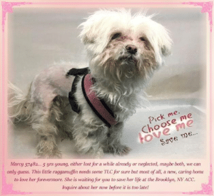 Animals, Desperate, and Dogs: Pick me.  ove me  Save me.  Marcy 57482... 5 yrs young, either lost for a while already or neglected, maybe both, we can  Choose me  only guess. This little raggamuffin needs some TLC for sure but most of all, a new, caring home  to love her forevermore. She is waiting for you to save her life at the Brooklyn, NY ACC.  Inquire about her now before it is too late! **FOSTER or ADOPTER NEEDED ASAP** Marcy 57482... 5 yrs young, either lost for a while already or neglected, maybe both, we can only guess. This little raggamuffin needs some TLC for sure but most of all, a new, caring home to love her forevermore. She is waiting for you to save her life at the Brooklyn, NY ACC. Inquire about her now before it is too late!  ✔Pledge✔Tag✔Share✔FOSTER✔ADOPT✔Save her life!  Marcy 57482 Small Mixed Breed Sex female Age 5 yrs (approx.) - ? lbs My health has been checked.  My vaccinations are up to date. My worming is up to date.  I have been micro-chipped.  I am waiting for you at the Brooklyn, NY ACC. Please, Please, Please, save me!  **************************************** To FOSTER or ADOPT this little nugget,  SPEAK UP NOW  &  APPLY with rescues  OR  message Must Love Dogs - Saving NYC Dogs for assistance immediately! **************************************  The general rule is to foster you have to be within 4 hours of the NYC ACC approved New Hope partner rescues you are applying with and to adopt you will have to be in the general NE US area; NY, NJ, CT, PA, DC, MD, DE, NH, RI, MA, VT & ME (some rescues will transport to VA).  **************************************  You must apply to rescues already approved to pull from NYC ACC shelters. Rescues can't do anything without APPLICATIONS! If your application is approved, rescue will arrange transport. ************************************** ... NOTE:  *** WE HAVE NO OTHER INFORMATION THAN WHAT IS LISTED WITH THIS FLYER *** ... ======== Shelter address ====== - Brooklyn Shelter: 2336 Linden Boulevar