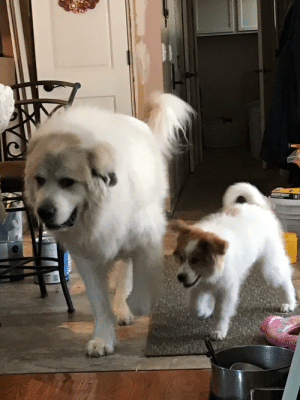 Picked up this sweet girl a few weeks ago and found out I was temporarily laid off. At least we've had plenty of time to potty train and learn from my parents Pyrenees!: Picked up this sweet girl a few weeks ago and found out I was temporarily laid off. At least we've had plenty of time to potty train and learn from my parents Pyrenees!