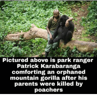 Memes, 🤖, and Ranger: Pictured above is park ranger  Patrick Karabaranga  comforting an orphaned  mountain gorilla after his  parents were killed by  poachers This breaks my heart 💔😔