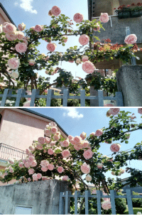 Tumblr, Blog, and Pink: picturelumps:Pretty Pink Roses