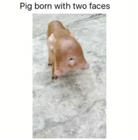 Now that's some shit you don't see every day: Pig born with two faces Now that's some shit you don't see every day
