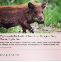 Drunk, Funny, and Animal: Pig in Australia Steals 18 Beers from Campers, Gets  Drunk, Fights Cow  Craig ONeal, Flickr Forget crocodiles and snakes, the real animal threat in Australia  is wild pigs. At least if you're camping. At a campground in Western Australia over...  GADLING.COM  /6/14, 4:14 PM This is my spirit animal https://t.co/uAkEgZXMln