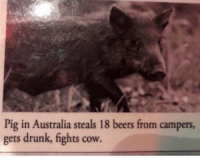 Drunk, Animal, and Australia: Pig in Australia steals 18 beers from campers  gets drunk, fights cow. Spirit Animal