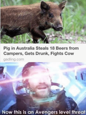 Öîñk Comrades: Pig in Australia Steals 18 Beers from  Campers, Gets Drunk, Fights Cow  gadling.com  Now this is an Avengers level threat Öîñk Comrades