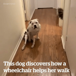 Good girl goes from confused to ecstatic upon discovering what a dog wheelchair can do for her 😍: @pigeonpup  This dog discovers how a  wheelchair helps her walk Good girl goes from confused to ecstatic upon discovering what a dog wheelchair can do for her 😍