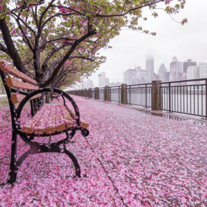 Pink cherry blossom trees in New York city and Manhattan: Pink cherry blossom trees in New York city and Manhattan