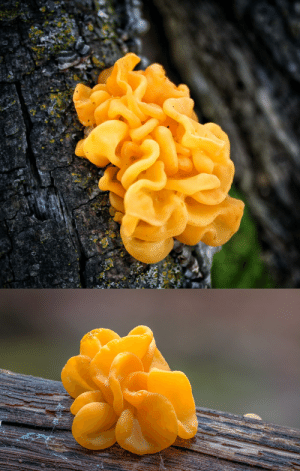 pinkstarfighter:  natureisthegreatestartist: What in the world is this? It's witches' butter (Tremella mesenterica), a fungus that thrives in rainy forests. Bizarre and beautiful, yes?    : pinkstarfighter:  natureisthegreatestartist: What in the world is this? It's witches' butter (Tremella mesenterica), a fungus that thrives in rainy forests. Bizarre and beautiful, yes?