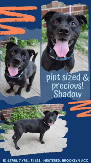 "Being Alone, Animals, and Bad: pint sized &  precious!  Shadow  ID 65788, 7 YRS., 31 LBS., NEUTERED, BROOKLYN ACC TO BE KILLED 6/20/19  He's a pint sized pixie! Active, curious, energetic and sweet, he practically does zoomies on a leash he gets so excited about having a friend and being in company. The volunteers can't help but laugh at his antics, so of course he gets plenty of treats! The only reason he is at the shelter is that a toddler joined the household and he likes to rough and tumble play so knocking over the baby was not part of their future plans. That's too bad, because all he needs is a bit of training, some calming exercises like ""down stay"" or ""place"" so that he can direct that energy in a positive, calm fashion. Instead, this little boy is having to fight for his life and hope a new, experienced, adult only family will choose him so his life can be saved. With his sterling resume you would think it would not be hard – housetrained, crate trained, well behaved home alone and he knows many commands! If you can give him a home by fostering or adopting him, please hurry and message our page or email us at MustLoveDogsNYC@gmail.com for assistance.  MY MOVIE: Shadow https://youtu.be/h0vgb2DKEOw   SHADOW, ID# 65788, 7 yrs old, 31 lbs, Neutered Male Brooklyn ACC, Medium Mixed Breed, Black  Owner Surrender Reason: Owner surrendered due to toddler in the home  Shelter Assessment Rating: NEW HOPE ONLY  Medical Behavior Rating: Orange   OWNER SURRENDER NOTES - BASIC INFORMATION: Shadow is a 7 year old medium mix breed. He was given to owner when he was 6-7 weeks old. Owner stated Shadow is healthy beside a wart he has on the arm. Owner surrenders due to toddler in the home. Shadow previously lived with 2 adults and a 2 yr old. Shadow is friendly towards strangers but if someone approach him with owner without warning he will snap. Other family member interacted with him well. Shadow is tolerant around children but can be rough. He usually runs away or chase 2 year old in the house but never showed any signs of aggression. His owner stated, that Shadow will bark and lunge at other dogs outdoors. He will chase cats he sees in the backyard. The owner never tried to touch his food while he is eating, so it is unknown to the owner, if Shadow has any resource guarding issues. He will let Shadow to move if he needs his food bowl. Shadow struggles to take baths in tub but in the backyard with water holes he is tolerant. He doesn't hear the door bell rang due to being outside or in a room, so it is unknown how he would react. Shadow has never bitten or scratched anyone. He is housetrained and his owner describes his energy level as high.   Has this dog ever had any medical issues? Yes Medical Notes: Shadow has a wart and urinated blood.  For a New Family to Know Shadow is trained to use the bathroom outdoors in the yard or on walks. He eats dry food pedigree but it make his coat dry so owner switch to Trader Joes. He plays with nylon bones and usually stay inside a room. He is well behaved when home alone and crate trained. He knows cues such as sit, come here, lay down and drop it. He pulls on a leash if he is excitable.   INTAKE NOTES – DATE OF INTAKE, 12-Jun-2019 : Upon intake Shadow had on a muzzle. His tail was tucked and stayed close by owner. He was panting and growled when another person enter the room. I held his leash but limited handling was done.   BEHAVIOR NOTES   Summary: According to Shadow's previous owner, he would bark and lung at other dogs outdoors. 6/13: When off leash at the Care Center, Shadow is introduced to a novel female dog. He is fearful with a tucked tail and posture, lowered head, and a trembling body. He does not greet the female and stays close to a handler.  Behavior Assessment Date of intake:: 6/12/2019  Spay/Neuter status:: Yes  Means of surrender (length of time in previous home):: Owner surrender  Previously lived with:: 2 Adults, 1 Child (2)  Behavior toward strangers:: Friendly; Sometimes snaps  Behavior toward children:: Tolerant, rough, chases, avoids (w/resident child)  Behavior toward dogs:: Barks and lunges (w/novel dogs encountered outside)  Behavior toward cats:: Chases (w/stray cats)  Resource guarding:: None reported  Bite history:: None reported  Housetrained:: Yes  Energy level/descriptors:: Shadow is described as playful and excitable with a high level of energy.  Summary:: Leash Walking Strength and pulling: Mild pulling Reactivity to humans: None Reactivity to dogs: None Leash walking comments:  Sociability Loose in room (15-20 seconds): Neutral-tense body, ears forward, tail high, readily accepts treats, stays near door and scratches at it, seeking exit, explores somewhat, does not approach readily Call over: Approaches with coaxing Sociability comments:   Handling  Soft handling: Tense body, low tail, closed mouth, tense head, lip licking, accepts contact Exuberant handling: Tense body, neutral tail, leans into handler, open mouth, panting, lip licking, accepts contact Handling comments: Initially avoided handler and contact  Arousal Jog: Follows handler, neutral; Pulls toward door seeking exit Arousal comments:   Knock Knock Comments: Whines when assistant exits; No response to knock; Approaches assistant, soft and loose, then pulls hard toward door seeking exit  Toy Toy comments: Minimal interest  Summary:: According to Shadow's previous owner, he would bark and lung at other dogs outdoors.  6/13: When off leash at the Care Center, Shadow is introduced to a novel female dog. He is fearful with a tucked tail and posture, lowered head, and a trembling body. He does not greet the female and stays close to a handler.  6/17: Shadow was introduced to a novel female today. He still does not greet the female but displays a neutral posture as he wanders the pens.   6/18: Due to Shadow being unconfortable and fearful with larger dogs, an attempt was made to place him in a group of smaller dogs. Shadow enters the pens and approaches the gate. When he sees the smaller dogs his body tenses and he heightens his posture and rushes forward chuffing. Once in front of the gate, Shadow growls. Due to these behaviors, Shadow is not introduced to the group to prevent further escalation.  Date of intake:: 6/12/2019  Summary:: Arrived wearing a muzzle; tucked tail, panting, growled when staff entered; Limited handling  Date of initial:: 6/12/2019  Summary:: Very nervous, low growling; Muzzled as a precaution  ENERGY LEVEL:: Shadow has been observed to exhibit a medium level of energy during his interactions in the care center.  BEHAVIOR DETERMINATION:: New Hope Only  Behavior Asilomar: TM - Treatable-Manageable  Recommendations:: No children (under 13),No cats  Recommendations comments:: No children (under 13): Due to Shadow's reported on-leash reactivity, fearful behavior with the potential for defensive aggression and anxiety, we feel it would be best for him to be placed in a stable, adult-only home environment to ensure his success. It is advised that the new adopters should be able to exercise appropriate and safe management when handling Shadow, allowing him to acclimate and decompress at his own pace. Force-free, reward-based training only is advised when introducing or exposing Shadow to new and unfamiliar situations, as well as utilizing guidance from a qualified, professional trainer/behaviorist.  No cats: Due to Shadow's reported behavior of chasing stray cats encountered outside of the home, it is recommended that Shadow be placed in a home without any cats or other small animals at this time.  Potential challenges: : Fearful/potential for defensive aggression,Anxiety,On-leash reactivity/barrier frustration  Potential challenges comments:: Fearful/potential for defensive aggression: Previous owner reported Shadow to have escalated, at times, to snapping toward people when they approach him unexpectedly. Shadow was also observed to display fearful behavior during his medical exam, where he escalated to low growling toward handlers. Please refer to the handout for Fearful/potential for defensive aggression.  Anxiety: During Shadow's interactions in the care center, he has been observed to pant and whine throughout, as well as continuously attempt to seek an exit. He has not been observed to escalate beyond these behaviors. Please refer to the handout for Anxiety.  On-leash reactivity: Previous owner reported Shadow to bark and lunge when encountering novel dogs on-leash. This behavior has not been observed in the care center. Please refer to the handout for On-leash reactivity/barrier frustration.  MEDICAL EXAM NOTES   12-Jun-2019  DVM Intake Exam. Estimated age: 7 years. Microchip noted on Intake? No. History : owner surrender. Subjective: BARH. No csvd. Noted to have hematuria in admissions. Observed Behavior - Very nervous, low growling, had to be muzzled. Evidence of Cruelty seen -no. Evidence of Trauma seen – no Objective: P = wnl, R = wnl, BCS 5/9. EENT: Nuclear sclerosis OU, ears clean, no nasal or ocular discharge noted. Oral Exam: not performed due to temperament PLN: No enlargements noted. H/L: NSR, NMA, CRT < 2, Lungs clear, eupnic ABD: Non painful, no masses palpated. U/G: MN, no discharge. MSI: Ambulatory x 4, skin free of parasites, no masses noted, alopecia noted along inguinal area CNS: Mentation appropriate - no signs of neurologic abnormalities. Rectal: no masses felt, soft stool. Assessment Hematuria- r/o uroliths vs neoplasia vs coagulopathy. Prognosis: guarded. Plan: CBC/Chem/lytes. Scheduled for sedated abdominal rads tomorrow.   *** TO FOSTER OR ADOPT ***  HOW TO RESERVE A ""TO BE KILLED"" DOG ONLINE (only for those who can get to the shelter IN PERSON to complete the adoption process, and only for the dogs on the list NOT marked New Hope Rescue Only). Follow our Step by Step directions below!   *PLEASE NOTE – YOU MUST USE A PC OR TABLET – PHONE RESERVES WILL NOT WORK! **   STEP 1: CLICK ON THIS RESERVE LINK: https://newhope.shelterbuddy.com/Animal/List  Step 2: Go to the red menu button on the top right corner, click register and fill in your info.   Step 3: Go to your email and verify account  \ Step 4: Go back to the website, click the menu button and view available dogs   Step 5: Scroll to the animal you are interested and click reserve   STEP 6 ( MOST IMPORTANT STEP ): GO TO THE MENU AGAIN AND VIEW YOUR CART. THE ANIMAL SHOULD NOW BE IN YOUR CART!  Step 7: Fill in your credit card info and complete transaction   HOW TO FOSTER OR ADOPT IF YOU *CANNOT* GET TO THE SHELTER IN PERSON, OR IF THE DOG IS NEW HOPE RESCUE ONLY!   You must live within 3 – 4 hours of NY, NJ, PA, CT, RI, DE, MD, MA, NH, VT, ME or Norther VA.   Please PM our page for assistance. You will need to fill out applications with a New Hope Rescue Partner to foster or adopt a dog on the To Be Killed list, including those labelled Rescue Only. Hurry please, time is short, and the Rescues need time to process the applications."