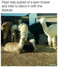 Chill, Memes, and Boys: Piper was scared of a lawn mower  and tried to blend in with the  alpacas juss gonna chill with these tall boys until things calm down (follow @chaos.reigns_ for more)