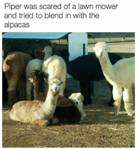 Memes, Butterfly, and 🤖: Piper was scared of a lawn mower  and tried to blend in with the  alpacas Follow me @x__social_butterfly__x