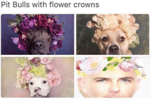 Crowns: Pit Bulls with flower crowns