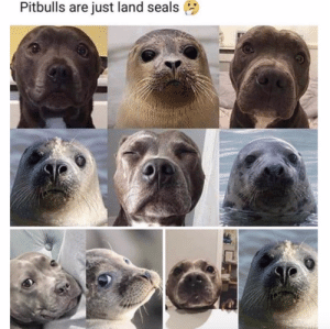 Instagram, Target, and Tumblr: Pitbulls are just land seals babyanimalgifs:Or seals are just water pups (@harpertheblueseal)
