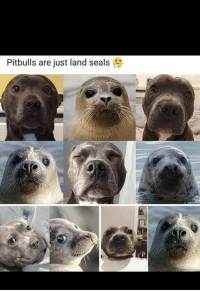 Bulls, Pit, and Seals: Pitbulls are just land seals Pit Bulls are just land seals