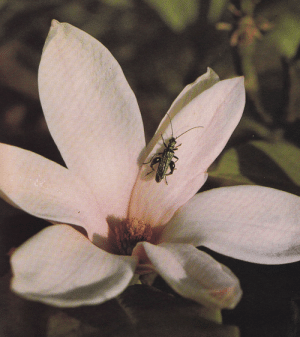 plant-scans:  Thick-legged flower beetle on magnoliaLife on Earth, David Attenborough, 1979: plant-scans:  Thick-legged flower beetle on magnoliaLife on Earth, David Attenborough, 1979