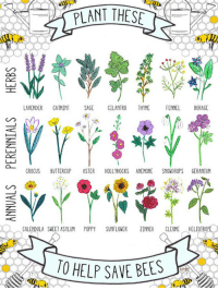 <p>What To Plant To Save The Bees</p>: PLANT  THES  AVENDER CATMINT SAGE CILANTRO THYME FENNEL BORAGE  ROCUS BUTTERCUP ASTER HOLLYHOCKS ANEMONE SNOWDROPS GERANIUM  GALENDULA SWEET ASYLUM POPPY SUNF LOWER INNIA CLEOME HELIOTROPE <p>What To Plant To Save The Bees</p>