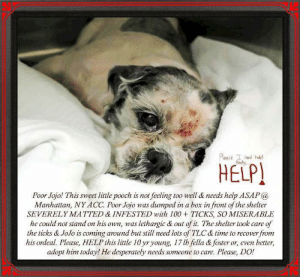 Desperate, Dogs, and Friday: Plase die  HELP  Poor Jojo! This sweet little pooch is not feeling too well & needs help ASAP@  Manhattan, NY ACC. Poor Jojo was dumped in a box in front of the shelter  SEVERELY MATTED & INFESTED with 100TICKS, SO MISERABLE  he could not stand on his own, was lethargic & out of t. The shelter took care of  the ticks & JoJo is coming around but still need lots of TLC & time to recover from  his ordeal. Please, HELP this little 10 yr young, 17 lb fella &foster or, even better,  adopt him today! He desperately needs someone to care. Please, DO! **FOSTER or ADOPTER NEEDED ASAP** Poor Jojo! This sweet little pooch is not feeling too well & needs help ASAP @ Manhattan, NY ACC. Poor Jojo was dumped in a box in front of the shelter SEVERELY MATTED & INFESTED with 100 + TICKS, SO MISERABLE he could not stand on his own, was lethargic & out of it. The shelter took care of the ticks & JoJo is coming around but still needs lots of TLC & time to recover from his ordeal. Please, HELP this little 10 yr young, 17 lb fella & foster or, even better, adopt him today! He desperately needs someone to care. Please, DO!  JoJo 60987  Small Mixed Breed Sex male Age 10 yrs (approx.) - 17 lbs My health has been checked.  My vaccinations are up to date. My worming is up to date.  I have been micro-chipped.   I am waiting for you at the Manhattan, NY ACC. Please, Please, Please, save me!  **************************************** To FOSTER or ADOPT this little nugget,   SPEAK UP NOW  Direct adopt from NYC ACC OR  APPLY with rescues  OR  message Must Love Dogs - Saving NYC Dogs for assistance immediately! **************************************  The general rule is to foster you have to be within 4 hours of the NYC ACC approved New Hope partner rescues you are applying with and to adopt you will have to be in the general NE US area; NY, NJ, CT, PA, DC, MD, DE, NH, RI, MA, VT & ME (some rescues will transport to VA).  **************************************  You must ap