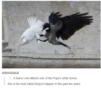 crow: plasmalogical  A black crow attacks one of the Pope's white doves.  this is the most metal thing to happen in the past ten years