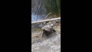 platypusinplaid: Everyone please look at this snapping turtle, walking to the pond outside my house, still groggy from a 6-month nap.: platypusinplaid: Everyone please look at this snapping turtle, walking to the pond outside my house, still groggy from a 6-month nap.
