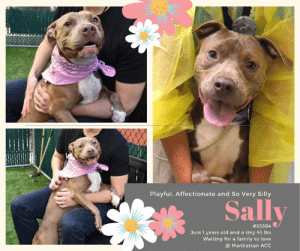 TO BE KILLED 7/2/2019  SIMPLY DELIGHTFUL!  Sally is one funny affectionate girl!  Gentle with kids!  Playful with cats!  She just wants a family to love where she gets plenty of lap time, belly rubs and an abundance of kisses! <3  A volunteer writes:  Silly Sally had us both laughing and swooning at her adorable antics! Unlike any other pupper we've met, Sally made it known that she loves to be held like a baby! With her paws on your shoulders and her head nuzzled against yours, Sally feels at home in her humans arms and she just wants to stay there. She loves to get kisses, sit in your lap, and she loves belly rubs too! With a patient human and a little training this girl is guaranteed to be your dream dog! Sally will be your source of love, loyalty and adoration for life! Come meet this amazing girl today at the Manhattan ACC!  Sally #65384 Female tan dog  @ Manhattan Animal Care Center About 1 years 3 months old Weight: 43.375 lbs Owner surrender on 6/9/2019, with the surrender reason stated as person circumstance- landlord won't allow.  Sally is at risk due to behavior. We recommend she go to an adult only home with no other pets. The level of dog reactivity seen in the care center have been concerning and she should go to a home prepared to help manage this behavior as well as work with her on basic manners. There are no medical concerns for her at this time.  You may know me from such films as... https://youtu.be/hiXQ79uaEuo https://youtu.be/j-kreJkYL2A  Let's get to know each other a bit more... A volunteer writes: Silly Sally had us both laughing and swooning at her adorable antics! Unlike any other pupper we've met, Sally made it known that she loves to be held like a baby! With her paws on your shoulders and her head nuzzled against yours, Sally feels at home in her humans arms and she just wants to stay there. She loves to get kisses, sit in your lap, and she loves belly rubs too! With a patient human and a little training this girl is guaranteed to be your dream dog! Sally will be your source of love, loyalty and adoration for life! Come meet this amazing girl today at the Manhattan ACC!  My medical notes are... Weight: 43.375 lbs  Vet Notes 6/10/2019  DVM Intake Exam Estimated age: 1 Microchip noted on Intake? Y Microchip Number (If Applicable): 981020021628859  History : stray Subjective: BAR, euhydrated, MM pink/moist, CRT Observed Behavior: sweet as a raspberry; loose body; allowed for full PE  Evidence of Cruelty seen -n Evidence of Trauma seen -n  Objective T = - P = wnl R = wnl EENT: Anterior chambers clear OU; no corneal defects; no ocular or nasal discharge; no oral masses or ulcerations seen Oral Exam: teeth in good cond – no calculus; no staining; all permanent teeth present  PLN: No enlargements noted H/L: No murmurs or arrhythmias; strong, synchronous femoral pulses bilaterally; Eupneic; normal bronchovesicular sounds in all fields; no crackles/wheezes ABD: Non painful, no masses palpated U/G: intact female  MSI: BCS 5/9 ; Ambulatory x 4 with no lameness, skin free of parasites, no masses noted, healthy hair coat CNS: Appropriate mentation; no cranial nerve deficits; no proprioceptive deficits; no ataxia Rectal: externally normal Assessment: Healthy   SURGERY: Okay for surgery  Prognosis: Excellent   6/16/2019  BAR Actively coughing, dry and non-productive Moderate nasal discharge bilateral No active sneezing or ocular discharge  A:CIRDC (new)  P: -Move to iso -Enrofloxacin 204 mg PO SID x 14 days -Doxycycline 200 mg PO SID x 14 days -Cerenia 30 mg PO SID x 4 days -Proviable 1 capsule PO SID x 7 days -Recheck day 7 and 14  6/23/2019  Hx: has had CIRDC; has been on medication for 7 d's  BAR H  eent- no nasal dc; no congestion; no coughing  a) resolved CIRDC p) moving out of ISO  6/30/2019  BAR  No nasal or ocular discharge noted No coughing or sneezing noted  A:Hx of CIRDC, apparently resolved  P: -Continue out CIRDC meds (today is last day), they do not need to be extended  Details on my behavior are... Behavior Condition: 1. Green  Behavior History Behavior Assessment Upon intake dog was observed with a loose body and a wagging tail, she has very high energy and allowed all handling from counselors.  Basic Information:: owner surrender large mixed breed female.  Previously lived with:: 2 Adults 2 children (4,14)  How is this dog around strangers?: Client said the dog is very playful around strangers  How is this dog around children?: Client stated dog is playful with children she was gentle and used to like to cuddle with the children  How is this dog around other dogs?: Client stated he has never had dogs around her but when she is outside she seeks to play with other dogs with a wagging tail  How is this dog around cats?: Client stated dog was friendly with the cat but cat was aggressive towards the dog.  Resource guarding:: No resource guarding.  Bite history:: No bite history.  Housetrained:: Yes  Energy level/descriptors:: very high  Other Notes:: very playful and high energy.  Has this dog ever had any medical issues?: No  Date of intake:: 6/9/2019  Spay/Neuter status:: No  Means of surrender (length of time in previous home):: Owner Surrender  Previously lived with:: Adults and children (ages 4 and 14)  Behavior toward strangers:: Playful  Behavior toward children:: Playful and gentle  Behavior toward dogs:: Appears playful when she sees them on walks  Behavior toward cats:: Friendly  Resource guarding:: None reported  Bite history:: None reported  Housetrained:: Yes  Energy level/descriptors:: Sally is described as playful with a very high level of activity.  Date of assessment:: 6/10/2019  Summary:: Leash Walking Strength and pulling: Hard Reactivity to humans: None Reactivity to dogs: None Leash walking comments: Very hard towards dogs  Sociability Loose in room (15-20 seconds): Highly social Call over: Approaches readily Sociability comments: Body soft, jumping up  Handling  Soft handling: Seeks contact Exuberant handling: Seeks contact Comments: Body soft, leaning into pets, jumping up  Arousal Jog: Engages in play (exuberant) Arousal comments: Jumps up high  Knock: Approaches (exuberant) Knock Comments: Jumps up high   Toy: No response Toy comments: None  Summary:: 6/10: Sally is initially a bit tense when introduced to the male helper dog off leash. When he attempts to play, she engages but quickly becomes overstimulated.  6/11: Sally engages in brief play, though does become vocal, tense, and aroused at times.  6/26: Sally displays reactivity when greeting, baring teeth and lunging. She is muzzled for off leash interaction and continues to run after while growling and snapping.  Date of intake:: 6/9/2019  Summary:: Loose body, allowed handling  ENERGY LEVEL:: Sally is described as having a very high level of activity. We recommend long-lasting chews, food puzzles, and hide-and-seek games, in additional to physical exercise, to positively direct her energy and enthusiasm.  IN SHELTER OBSERVATIONS:: Sally has been observed to jump up on handlers intensely, and has scratched handlers while doing this. Her behavior has deteriorated to the point that she is now biting the leash to a level that makes it very difficult to remove her from the kennel.  BEHAVIOR DETERMINATION:: Level 3  Behavior Asilomar: TM - Treatable-Manageable  Recommendations:: No children (under 13),Single-pet home,Recommend no dog parks  Recommendations comments:: No children: Due to the high level of jumping seen at the care center, we recommend an adult only home.  Single pet/no dog parks: A single dog home is recommended for Sally based on most recent concerning dog-dog interaction.  Potential challenges: : Basic manners/poor impulse control,On-leash reactivity/barrier frustration,Leash-biting  Potential challenges comments:: Basic manners/poor impulse control: Sally jumps up a lot on people in a social manner. Please see handout on Basic Manners.  On-leash reactivity/barrier frustration: At the care center, Sally has been reactive to dogs on leash, lunging at them, barkng, and growling. Please see handout on On-leash reactivity/barrier frustration.  Leash-biting: At the care center, Sally has intensely grabbed the leash in her mouth and bitten it. It is difficult to get her to relinquish. Please see handout on Leash Manners.  *** TO FOSTER OR ADOPT ***  If you would like to adopt a NYC ACC dog, and can get to the shelter in person to complete the adoption process, you can contact the shelter directly. We have provided the Brooklyn, Staten Island and Manhattan information below. Adoption hours at these facilities is Noon – 8:00 p.m. (6:30 on weekends)  If you CANNOT get to the shelter in person and you want to FOSTER OR ADOPT a NYC ACC Dog, you can PRIVATE MESSAGE our Must Love Dogs page for assistance. PLEASE NOTE: You MUST live in NY, NJ, PA, CT, RI, DE, MD, MA, NH, VT, ME or Northern VA. You will need to fill out applications with a New Hope Rescue Partner to foster or adopt a NYC ACC dog. Transport is available if you live within the prescribed range of states.  Shelter contact information: Phone number (212) 788-4000 Email adopt@nycacc.org Shelter Addresses: Brooklyn Shelter: 2336 Linden Boulevard Brooklyn, NY 11208 Manhattan Shelter: 326 East 110 St. New York, NY 10029 Staten Island Shelter: 3139 Veterans Road West Staten Island, NY 10309  *** NEW NYC ACC RATING SYSTEM ***  Level 1 Dogs with Level 1 determinations are suitable for the majority of homes. These dogs are not displaying concerning behaviors in shelter, and the owner surrender profile (where available) is positive. Some dogs with Level 1 determinations may still have potential challenges, but these are challenges that the behavior team believe can be handled by the majority of adopters. The potential challenges could include no young children, prefers to be the only dog, no dog parks, no cats, kennel presence, basic manners, low level fear and mild anxiety.  Level 2  Dogs with Level 2 determinations will be suitable for adopters with some previous dog experience. They will have displayed behavior in the shelter (or have owner reported behavior) that requires some training, or is simply not suitable for an adopter with minimal experience. Dogs with a Level 2 determination may have multiple potential challenges and these may be presenting at differing levels of intensity, so careful consideration of the behavior notes will be required for counselling. Potential challenges at Level 2 include no young children, single pet home, resource guarding, on-leash reactivity, mouthiness, fear with potential for escalation, impulse control/arousal, anxiety and separation anxiety.  Level 3 Dogs with Level 3 determinations will need to go to homes with experienced adopters, and the ACC strongly suggest that the adopter have prior experience with the challenges described and/or an understanding of the challenge and how to manage it safely in a home environment. In many cases, a trainer will be needed to manage and work on the behaviors safely in a home environment. It is likely that every dog with a Level 3 determination will have a behavior modification or training plan available to them from the behavior department that will go home with the adopters and be made available to the New Hope Partners for their fosters and adopters. Some of the challenges seen at Level 3 are also seen at Level 1 and Level 2, but when seen alongside a Level 3 determination can be assumed to be more severe. The potential challenges for Level 3 determinations include adult only home (no children under the age of 13), single pet home, resource guarding, on-leash reactivity with potential for redirection, mouthiness with pressure, potential escalation to threatening behavior, impulse control, arousal, anxiety, separation anxiety, bite history (human), bite history (dog) and bite history (other).  New Hope Rescue Only  Dog is not publicly adoptable. Prospective fosters or adopters need to fill out applications with New Hope Partner Rescues to save this dog.: Playful, Affectionate and So Very Silly  Sally  # 65384  Just 1 years old and a tiny 43 lbs  Waiting for a family to love  Manhattan Acc TO BE KILLED 7/2/2019  SIMPLY DELIGHTFUL!  Sally is one funny affectionate girl!  Gentle with kids!  Playful with cats!  She just wants a family to love where she gets plenty of lap time, belly rubs and an abundance of kisses! <3  A volunteer writes:  Silly Sally had us both laughing and swooning at her adorable antics! Unlike any other pupper we've met, Sally made it known that she loves to be held like a baby! With her paws on your shoulders and her head nuzzled against yours, Sally feels at home in her humans arms and she just wants to stay there. She loves to get kisses, sit in your lap, and she loves belly rubs too! With a patient human and a little training this girl is guaranteed to be your dream dog! Sally will be your source of love, loyalty and adoration for life! Come meet this amazing girl today at the Manhattan ACC!  Sally #65384 Female tan dog  @ Manhattan Animal Care Center About 1 years 3 months old Weight: 43.375 lbs Owner surrender on 6/9/2019, with the surrender reason stated as person circumstance- landlord won't allow.  Sally is at risk due to behavior. We recommend she go to an adult only home with no other pets. The level of dog reactivity seen in the care center have been concerning and she should go to a home prepared to help manage this behavior as well as work with her on basic manners. There are no medical concerns for her at this time.  You may know me from such films as... https://youtu.be/hiXQ79uaEuo https://youtu.be/j-kreJkYL2A  Let's get to know each other a bit more... A volunteer writes: Silly Sally had us both laughing and swooning at her adorable antics! Unlike any other pupper we've met, Sally made it known that she loves to be held like a baby! With her paws on your shoulders and her head nuzzled against yours, Sally feels at home in her humans arms and she just wants to stay there. She loves to get kisses, sit in your lap, and she loves belly rubs too! With a patient human and a little training this girl is guaranteed to be your dream dog! Sally will be your source of love, loyalty and adoration for life! Come meet this amazing girl today at the Manhattan ACC!  My medical notes are... Weight: 43.375 lbs  Vet Notes 6/10/2019  DVM Intake Exam Estimated age: 1 Microchip noted on Intake? Y Microchip Number (If Applicable): 981020021628859  History : stray Subjective: BAR, euhydrated, MM pink/moist, CRT Observed Behavior: sweet as a raspberry; loose body; allowed for full PE  Evidence of Cruelty seen -n Evidence of Trauma seen -n  Objective T = - P = wnl R = wnl EENT: Anterior chambers clear OU; no corneal defects; no ocular or nasal discharge; no oral masses or ulcerations seen Oral Exam: teeth in good cond – no calculus; no staining; all permanent teeth present  PLN: No enlargements noted H/L: No murmurs or arrhythmias; strong, synchronous femoral pulses bilaterally; Eupneic; normal bronchovesicular sounds in all fields; no crackles/wheezes ABD: Non painful, no masses palpated U/G: intact female  MSI: BCS 5/9 ; Ambulatory x 4 with no lameness, skin free of parasites, no masses noted, healthy hair coat CNS: Appropriate mentation; no cranial nerve deficits; no proprioceptive deficits; no ataxia Rectal: externally normal Assessment: Healthy   SURGERY: Okay for surgery  Prognosis: Excellent   6/16/2019  BAR Actively coughing, dry and non-productive Moderate nasal discharge bilateral No active sneezing or ocular discharge  A:CIRDC (new)  P: -Move to iso -Enrofloxacin 204 mg PO SID x 14 days -Doxycycline 200 mg PO SID x 14 days -Cerenia 30 mg PO SID x 4 days -Proviable 1 capsule PO SID x 7 days -Recheck day 7 and 14  6/23/2019  Hx: has had CIRDC; has been on medication for 7 d's  BAR H  eent- no nasal dc; no congestion; no coughing  a) resolved CIRDC p) moving out of ISO  6/30/2019  BAR  No nasal or ocular discharge noted No coughing or sneezing noted  A:Hx of CIRDC, apparently resolved  P: -Continue out CIRDC meds (today is last day), they do not need to be extended  Details on my behavior are... Behavior Condition: 1. Green  Behavior History Behavior Assessment Upon intake dog was observed with a loose body and a wagging tail, she has very high energy and allowed all handling from counselors.  Basic Information:: owner surrender large mixed breed female.  Previously lived with:: 2 Adults 2 children (4,14)  How is this dog around strangers?: Client said the dog is very playful around strangers  How is this dog around children?: Client stated dog is playful with children she was gentle and used to like to cuddle with the children  How is this dog around other dogs?: Client stated he has never had dogs around her but when she is outside she seeks to play with other dogs with a wagging tail  How is this dog around cats?: Client stated dog was friendly with the cat but cat was aggressive towards the dog.  Resource guarding:: No resource guarding.  Bite history:: No bite history.  Housetrained:: Yes  Energy level/descriptors:: very high  Other Notes:: very playful and high energy.  Has this dog ever had any medical issues?: No  Date of intake:: 6/9/2019  Spay/Neuter status:: No  Means of surrender (length of time in previous home):: Owner Surrender  Previously lived with:: Adults and children (ages 4 and 14)  Behavior toward strangers:: Playful  Behavior toward children:: Playful and gentle  Behavior toward dogs:: Appears playful when she sees them on walks  Behavior toward cats:: Friendly  Resource guarding:: None reported  Bite history:: None reported  Housetrained:: Yes  Energy level/descriptors:: Sally is described as playful with a very high level of activity.  Date of assessment:: 6/10/2019  Summary:: Leash Walking Strength and pulling: Hard Reactivity to humans: None Reactivity to dogs: None Leash walking comments: Very hard towards dogs  Sociability Loose in room (15-20 seconds): Highly social Call over: Approaches readily Sociability comments: Body soft, jumping up  Handling  Soft handling: Seeks contact Exuberant handling: Seeks contact Comments: Body soft, leaning into pets, jumping up  Arousal Jog: Engages in play (exuberant) Arousal comments: Jumps up high  Knock: Approaches (exuberant) Knock Comments: Jumps up high   Toy: No response Toy comments: None  Summary:: 6/10: Sally is initially a bit tense when introduced to the male helper dog off leash. When he attempts to play, she engages but quickly becomes overstimulated.  6/11: Sally engages in brief play, though does become vocal, tense, and aroused at times.  6/26: Sally displays reactivity when greeting, baring teeth and lunging. She is muzzled for off leash interaction and continues to run after while growling and snapping.  Date of intake:: 6/9/2019  Summary:: Loose body, allowed handling  ENERGY LEVEL:: Sally is described as having a very high level of activity. We recommend long-lasting chews, food puzzles, and hide-and-seek games, in additional to physical exercise, to positively direct her energy and enthusiasm.  IN SHELTER OBSERVATIONS:: Sally has been observed to jump up on handlers intensely, and has scratched handlers while doing this. Her behavior has deteriorated to the point that she is now biting the leash to a level that makes it very difficult to remove her from the kennel.  BEHAVIOR DETERMINATION:: Level 3  Behavior Asilomar: TM - Treatable-Manageable  Recommendations:: No children (under 13),Single-pet home,Recommend no dog parks  Recommendations comments:: No children: Due to the high level of jumping seen at the care center, we recommend an adult only home.  Single pet/no dog parks: A single dog home is recommended for Sally based on most recent concerning dog-dog interaction.  Potential challenges: : Basic manners/poor impulse control,On-leash reactivity/barrier frustration,Leash-biting  Potential challenges comments:: Basic manners/poor impulse control: Sally jumps up a lot on people in a social manner. Please see handout on Basic Manners.  On-leash reactivity/barrier frustration: At the care center, Sally has been reactive to dogs on leash, lunging at them, barkng, and growling. Please see handout on On-leash reactivity/barrier frustration.  Leash-biting: At the care center, Sally has intensely grabbed the leash in her mouth and bitten it. It is difficult to get her to relinquish. Please see handout on Leash Manners.  *** TO FOSTER OR ADOPT ***  If you would like to adopt a NYC ACC dog, and can get to the shelter in person to complete the adoption process, you can contact the shelter directly. We have provided the Brooklyn, Staten Island and Manhattan information below. Adoption hours at these facilities is Noon – 8:00 p.m. (6:30 on weekends)  If you CANNOT get to the shelter in person and you want to FOSTER OR ADOPT a NYC ACC Dog, you can PRIVATE MESSAGE our Must Love Dogs page for assistance. PLEASE NOTE: You MUST live in NY, NJ, PA, CT, RI, DE, MD, MA, NH, VT, ME or Northern VA. You will need to fill out applications with a New Hope Rescue Partner to foster or adopt a NYC ACC dog. Transport is available if you live within the prescribed range of states.  Shelter contact information: Phone number (212) 788-4000 Email adopt@nycacc.org Shelter Addresses: Brooklyn Shelter: 2336 Linden Boulevard Brooklyn, NY 11208 Manhattan Shelter: 326 East 110 St. New York, NY 10029 Staten Island Shelter: 3139 Veterans Road West Staten Island, NY 10309  *** NEW NYC ACC RATING SYSTEM ***  Level 1 Dogs with Level 1 determinations are suitable for the majority of homes. These dogs are not displaying concerning behaviors in shelter, and the owner surrender profile (where available) is positive. Some dogs with Level 1 determinations may still have potential challenges, but these are challenges that the behavior team believe can be handled by the majority of adopters. The potential challenges could include no young children, prefers to be the only dog, no dog parks, no cats, kennel presence, basic manners, low level fear and mild anxiety.  Level 2  Dogs with Level 2 determinations will be suitable for adopters with some previous dog experience. They will have displayed behavior in the shelter (or have owner reported behavior) that requires some training, or is simply not suitable for an adopter with minimal experience. Dogs with a Level 2 determination may have multiple potential challenges and these may be presenting at differing levels of intensity, so careful consideration of the behavior notes will be required for counselling. Potential challenges at Level 2 include no young children, single pet home, resource guarding, on-leash reactivity, mouthiness, fear with potential for escalation, impulse control/arousal, anxiety and separation anxiety.  Level 3 Dogs with Level 3 determinations will need to go to homes with experienced adopters, and the ACC strongly suggest that the adopter have prior experience with the challenges described and/or an understanding of the challenge and how to manage it safely in a home environment. In many cases, a trainer will be needed to manage and work on the behaviors safely in a home environment. It is likely that every dog with a Level 3 determination will have a behavior modification or training plan available to them from the behavior department that will go home with the adopters and be made available to the New Hope Partners for their fosters and adopters. Some of the challenges seen at Level 3 are also seen at Level 1 and Level 2, but when seen alongside a Level 3 determination can be assumed to be more severe. The potential challenges for Level 3 determinations include adult only home (no children under the age of 13), single pet home, resource guarding, on-leash reactivity with potential for redirection, mouthiness with pressure, potential escalation to threatening behavior, impulse control, arousal, anxiety, separation anxiety, bite history (human), bite history (dog) and bite history (other).  New Hope Rescue Only  Dog is not publicly adoptable. Prospective fosters or adopters need to fill out applications with New Hope Partner Rescues to save this dog.