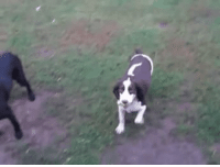 Dog,  Catch, and  Blind: Playing catch with blind dog.