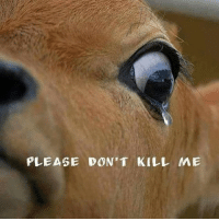 PLEASE DON'T KILL ME True tears of cow about to slaughter .. Pls think of pain when you get injured Think of away from your family .. Think of changing your diet . Go vegan !!