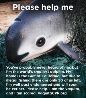 Alive, Animals, and Omg: Please help me  You've probably never heard of me, but  I'm the world's smallest dolphin. My  home is the Gulf of California, but due to  illegal fishing there are only 30 of us left.  I'm well past endangered and will soon  be extinct. Please help. I am the vaquita,  and I am scared. VaquitaCPR.org myownskyfullofstars:  themori-witch:  petermorwood:  thelovablycynicalerinmac:  anneriawings:  be—your—own—hero:  Omg look at this little cutie, how can anyone hurt them. There are only 30 of these left in the world due to illegal fishing.   Please donate to the National Marine Mammal Foundation's last-ditch effort to capture the last 30 animals alive and relocate them to a seaside sanctuary in the northern Gulf of California. This is their last chance.  http://www.nmmf.org/vaquitacpr.html   HELP THIS LITTLE BABY!  Reblogging LOUDLY. I'm aware some people don't like the notion of zoos and sanctuaries, but there's no reset button for Extinct.  Okay so I read this and cried.  Please, please help the National Marine Mammal Foundation capture the last 30 Vaquitas. They'll be sent to a sanctuary where they'll be taken care of, nurtured and every attempt will be made to bolster the species.  Please.    They're now down to 19. Please help save them