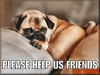 Friends, Memes, and The Worst: PLEASE HELP  US FRIENDS Hi friends, I've got my sad on. All our likes on our posts are disappearing & our page is performing the worst it's done since we started it (we've hit an all time low on our engagement figures). One of the problems we're having is - lots of other pages are just downloading our pictures & posting them on their own pages. When other pages do this we don't get any credit for them whatsoever & its really starting to pug us off when we see them on other pages & they have more likes on them than they do on our own page (especially when we do all the work creating them). If other pages like our posts so much, just share the post to your page then it doesn't effect our post reach & engagement figures. It's easy to do, just hit the share & select the write post option & it'll give you the option to share it to the page you own. If our post reach carries on going down our true friends will start missing our stuff, because FB will stop sharing our stuff as much. Our other friends can help too, if you like a post, just give it a like & this will help get us back up there. Hope our friends forgive us having a little rant, we know who are true friends are. Sending lots of pug hugs to all our true awesome friends....😘😘😘🐾🐾🐾 #letsspreadthelove   #letsgetthemlikesbackup