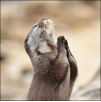 Please...pretty please? I'll be a good little otter: Please...pretty please? I'll be a good little otter