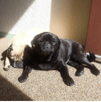 Please take a moment to appreciate the adorableness of my pugs @mrpickles_and_bella ❤ pugstagram: Please take a moment to appreciate the adorableness of my pugs @mrpickles_and_bella ❤ pugstagram