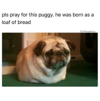 PRAY FOR MY PUP (Wyatt Logan Connor McWonderbread the 13th of Lancaster) AIN NOTHING WRONG WITH HIM HE JUST LOOK LIKE AN ACTUAL LOAF OF WHITE BREAD 🍞🍞🍞😂😂😂: pls pray for this puggy. he was born as a  loaf of bread  Drsmashlove PRAY FOR MY PUP (Wyatt Logan Connor McWonderbread the 13th of Lancaster) AIN NOTHING WRONG WITH HIM HE JUST LOOK LIKE AN ACTUAL LOAF OF WHITE BREAD 🍞🍞🍞😂😂😂