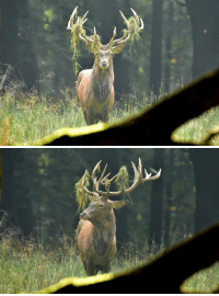 Deer, God, and Saw: plutomeetsgenius:  90377:  Rothirsch - red deer - Cervus elaphus by Olaf Kerber    You saw the god of the forest and you took pictures?