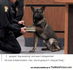 "lolzandtrollz:  Dog Swearing: POCE  I googled ""dog swearing"" and wasn't disappointed  His look of determination. Like, ""you're going to f. king jail Greg.""  you should probably go to TheMetaPicture.com lolzandtrollz:  Dog Swearing"