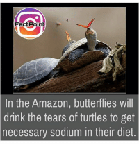 Amazon, Memes, and Diet: Poin  FactPoint  In the Amazon, butterflies will  drink the tears of turtles to get  sodium in their diet.  necessary honorwild loveanimals animalwelfare factoftheday 🐢👩🏽‍🍳🦋🙈