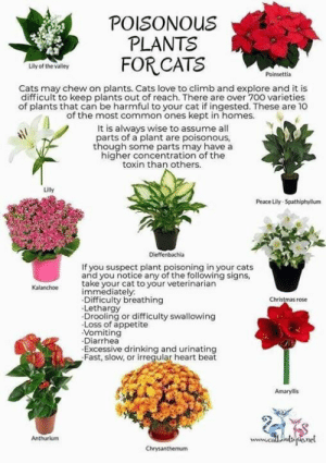 Excessive Drinking: POISONOUS  PLANTS  Lily of the valley  Poinsettia  Cats may chew on plants. Cats love to climb and explore and it is  difficult to keep plants out of reach. There are over 700 varieties  of plants that can be harmful to your cat if ingested. These are 10  of the most common ones kept in homes.  It is always wise to assume all  parts of a plant are poisonous,  though some parts may have a  higher concentration of the  toxin than others.  Lilly  Peace Lily-Spathiphyllum  Dieffenbachia  If you suspect plant poisoning in your cats  and you notice any of the following signs,  Kalanchoetake your cat to your veterinarian  immediately  Difficulty breathing  Lethargy  Drooling or difficulty swallowing  Loss of appetite  Vomiting  Diarrhea  Excessive drinking and urinating  Fast, slow, or irregular heart beat  Christmas rose  Amaryllis  Anthurium  www.ce