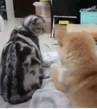 Doge, Memes, and 🤖: Poke a cat and blame the doggie, fa lalalala lalalala Follow @9gagcute - shibainu doge betrayal whyme