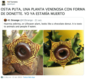 wiselwisel:: Pol Turrents  @polispol  OSTIA PUTA, UNA PLANTA VENENOSA CON FORMA  DE DONETTE. YO YA ESTARÍA MUERTO  41 Strange @41Strange 21 oct.  Huernia zebrina, or Lifesaver plant, looks like a chocolate donut. It is toxic  to animals and people if eaten.  11:18 p. m. 21 oct. 2019 Twitter Web App wiselwisel:
