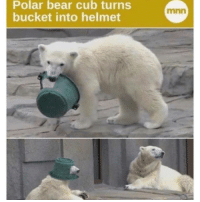 Polar bear cub turns  bucket into helmet  mnn