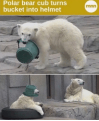 Polar bear cub turns  bucket into helmet  mnn meirl