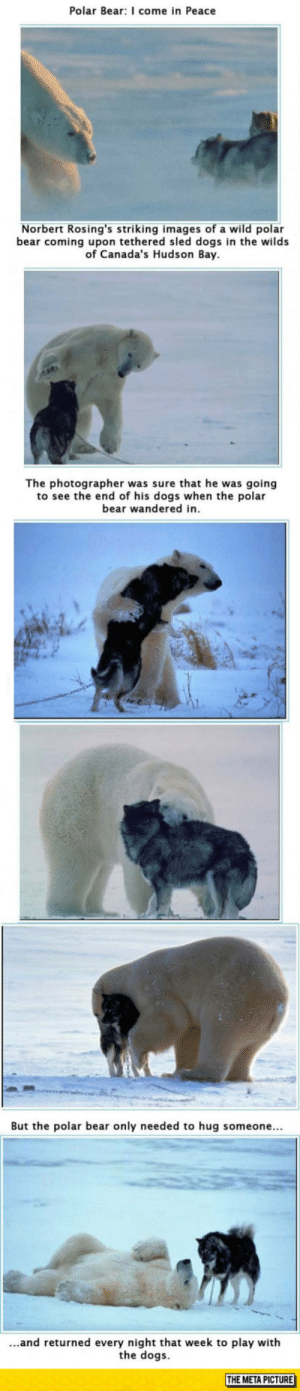 Beautiful, Club, and Dogs: Polar Bear: I come in Peace  Norbert Rosing's striking images of a wild polar  bear coming upon tethered sled dogs in the wilds  of Canada's Hudson Bay  The photographer was sure that he was going  to see the end of his dogs when the polar  bear wandered in  But the polar bear only needed to hug someone...  ...and returned every night that week to play with  the dogs  THE META PICTURE laughoutloud-club:  Just Beautiful, Nature You Never Cease To Surprise Me