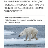 Memes, Uber, and Bear: POLAR BEARS CAN GROW UP TO 1,600  POUNDS  THIS POLAR BEAR WAS 245  POUNDS. DO YALL BELIEVE IN CLIMATE  CHANGE NOW?  Perfectly Timed Pics  a Uber Pix  This shocking Photograph Reveals The Reality  of Climate Change just now decided that I'm going to fight the entire government in honor of the polar bears !!!
